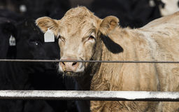 Feedlot Cows in the Muck and Mud Stock Photo