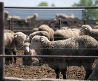 Feedlot Lambs Royalty Free Stock Photo