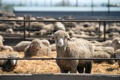 Feedlot Lambs Stock Images