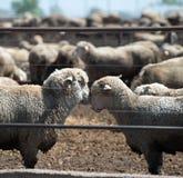 Feedlot Lambs Royalty Free Stock Image
