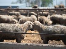 Feedlot Lambs Royalty Free Stock Photography