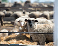Feedlot Lambs Royalty Free Stock Images