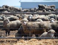 Feedlot Lambs Stock Photography