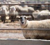 Feedlot Lambs Stock Image