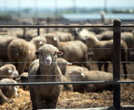 Feedlot Lambs Stock Photos