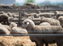 Feedlot Lambs Royalty Free Stock Photos