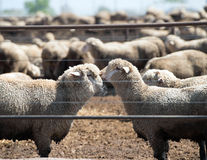 Feedlot Lambs Stock Photo