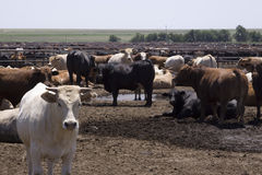 feedlot texas Royaltyfri Foto
