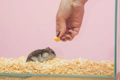She feeds the hamster cheese. Close-up Royalty Free Stock Image