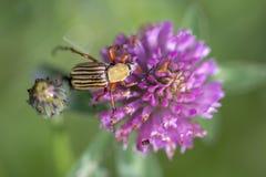 feeeding在一朵红三叶草花的镶边金龟子甲虫 库存图片