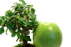 Feel different. Isolated green apple under wet bonsai tree Royalty Free Stock Photos
