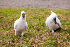 Feel free to ask if you have any questions. Sulphur Crested Cockatoo royalty free stock photo