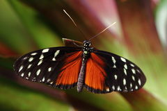 Feel This Moment. Tropical Butterfly Dido Longwing macro in green leafs Stock Photo
