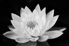 Feel peaceful from the black and white lotus style Stock Photo