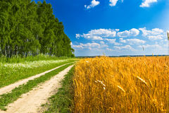Feeld Of Yellow Wheat Near Road And Forest Stock Photos