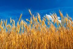 Feeld sur le ciel bleu d'onder jaune de blé Photos stock