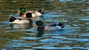 Feeling beautiful wild ducks on the lake. Living nature, beautiful green and brown colors, watching beautiful ducks swimming royalty free stock photos