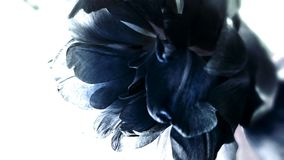 Blue Flower. This flower symbolize both love, devotion and the distance of emotion stock images