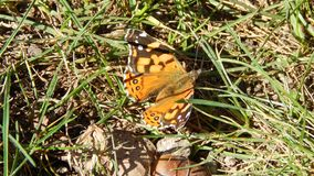 Feeling a butterfly on earth. Living nature, beautiful orange and black colors, seeling a butterfly resting royalty free stock images