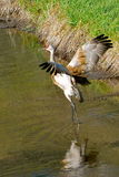 Feeling free. Crane walking in shallow creek with wings spread Stock Photo