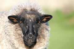 Feeling Sheepish? Stock Images