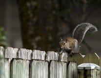 Squirrel Feeling Frisky Royalty Free Stock Photos