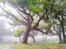 Feenhafte Bäume im Nebel und im Regen, Laurel Forest in Madeira stockfotografie