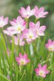 Feenhafte Lilie/Regenlilie Stockfoto