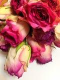 Feenhafte schöne Blumen genannt die Rose Stockfotografie