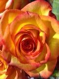 Feenhafte schöne Blumen genannt die Rose Lizenzfreie Stockfotos