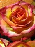 Feenhafte schöne Blumen genannt die Rose Lizenzfreies Stockfoto