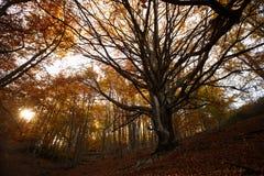 Feenhafter Baum im Herbstwald auf Sonnenuntergang Alter magischer Baum mit großen Niederlassungen und Orange verlässt auf Sonnena Stockfoto