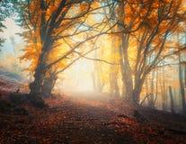 Feenhafter Herbstwald mit Spur im Nebel Bäume in den Fallfarben Stockbilder