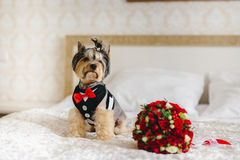 Fees bride. Dog in the room of the bride. Dog in the room of the bride royalty free stock images