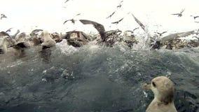 Feest van zeemeeuwen tijdens emissie van vissenafval van het schip Gopro stock footage