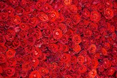 Feestachtergrond van mooie rode rozen Royalty-vrije Stock Foto