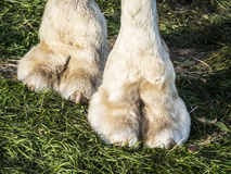 Feet of camel. Picture of the feet of a camel on green grass royalty free stock image