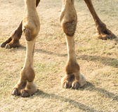 Feet of a camel. Portrait of a camel leg with its nails stock image