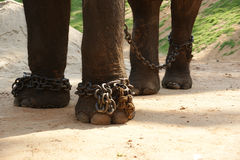 Feet in chains, the Asian elephant, or an Indian Royalty Free Stock Photo