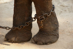Feet in chains, the Asian elephant, or an Indian Stock Photos
