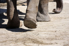 Feet of elephant walking. Feet and trunk of elephant walking away with copy space Stock Images