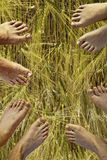 Feet of father, mother and two suns over straw. Feet of the family, father, mother and two suns over straw royalty free stock images
