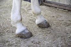Feet horse hoof Royalty Free Stock Photo