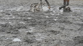 Feet of horse running on mud. Close-up of legs of stallion jogging at the wet muddy ground. Close up of paws galloping stock video footage