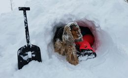 Kid with dog digging in snow. Feet of kid with brown dog digging snow igloo or fort with shovel royalty free stock photos