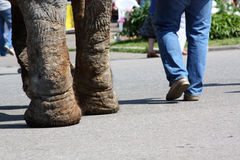 Feet of the man and elephant. Man and an elephant walking down the street Royalty Free Stock Photos
