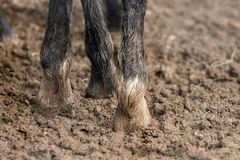 Free Feet Of Horses Standing In The Wet Dirt Stock Photography - 116062542