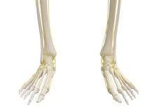 Feet skeleton with nervous system. Feet skeleton with nervous system  on white Stock Photography