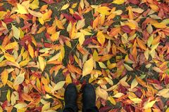 Feet stepping on dry autumn leaves stock images