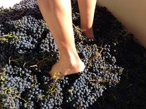 Feet stomping Merlot grapes in Sonoma, California, USA. Freshly picked Merlot grapes are shown in a large plastic bin, with a person's bare feet stomping them Stock Photos